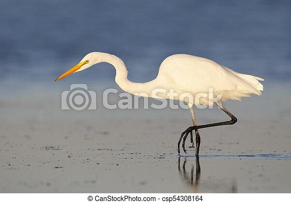 Great Egret stalking a fish - Fort DeSoto Park, Florida - csp54308164