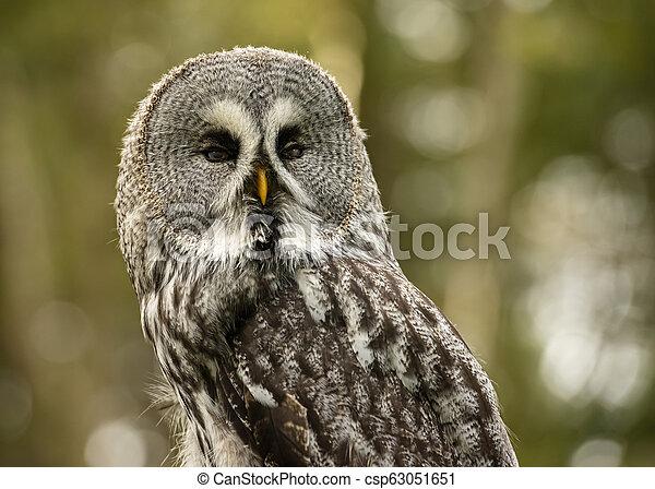 Great Grey Owl in captivity - csp63051651