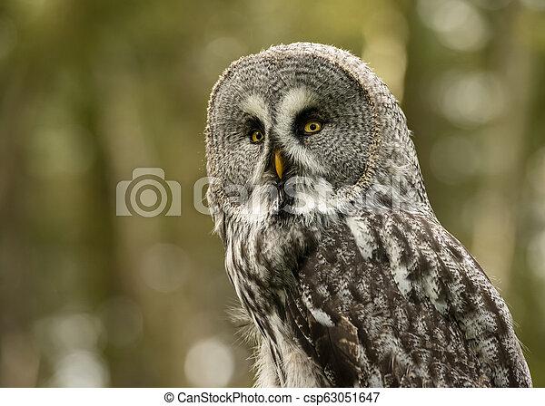 Great Grey Owl in captivity - csp63051647