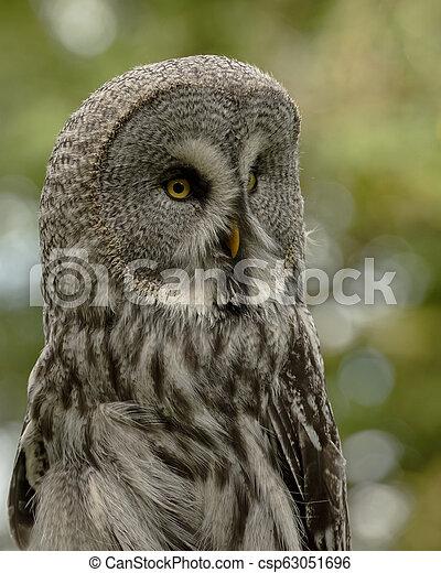 Great Grey Owl in captivity - csp63051696