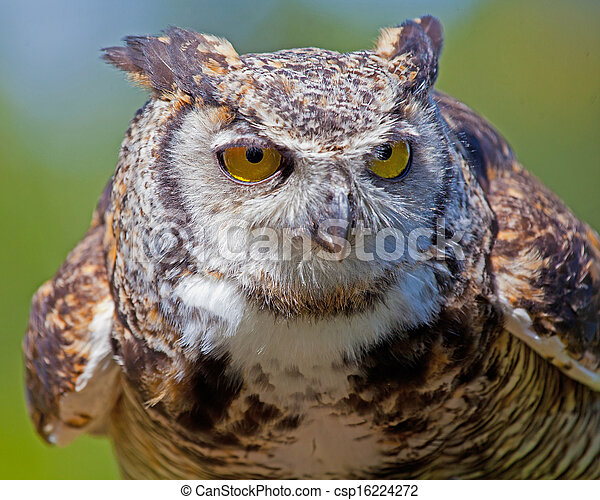 Great Horned Owl. - csp16224272