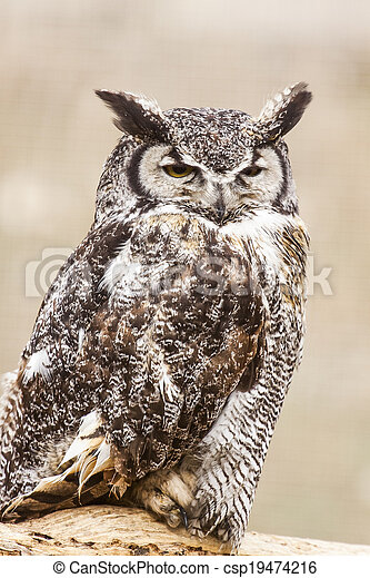 Great Horned Owl - csp19474216