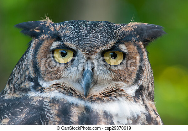 Great Horned Owl. - csp29370619