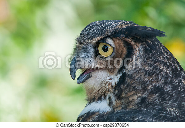 Great Horned Owl - csp29370654