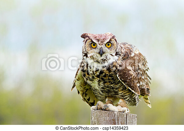 Great Horned Owl - csp14359423