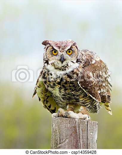 Great Horned Owl - csp14359428