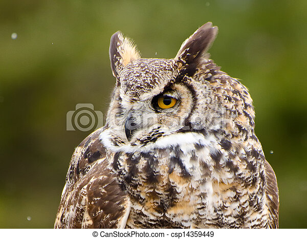 Great Horned Owl - csp14359449