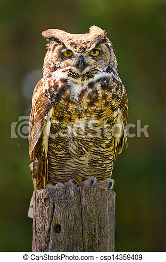 Great Horned Owl - csp14359409