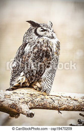 Great Horned Owl - csp19470209