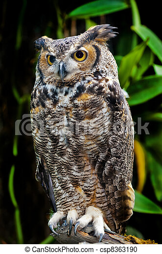 Great Horned Owl - csp8363190