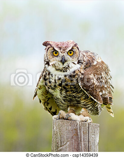 Great Horned Owl - csp14359439