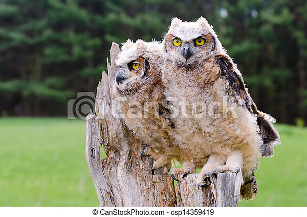 Great Horned Owlets - csp14359419