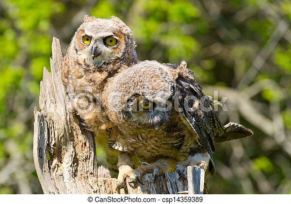Great Horned Owlets - csp14359389