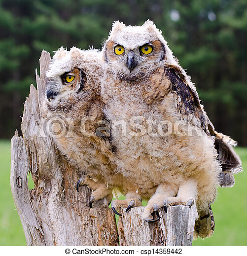 Great Horned Owlets - csp14359442