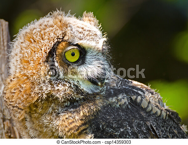 Great Horned Owlets - csp14359303