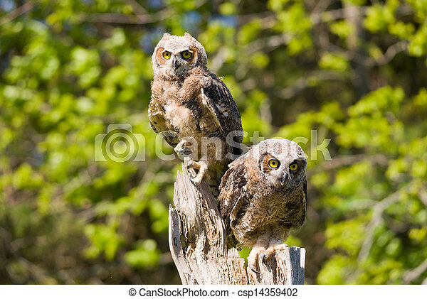 Great Horned Owlets - csp14359402