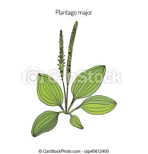 Great plantain. Plantago major - medicinal plant. - csp45612400