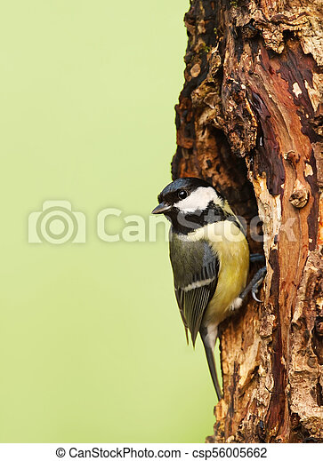Great tit on a tree trunk - csp56005662