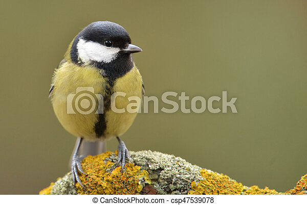 Great tit (Parus major) - csp47539078