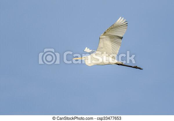 Great white egret (Casmerodius albu - csp33477653