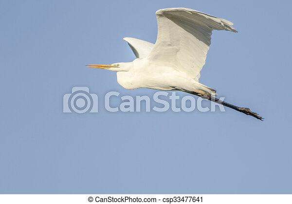 Great white egret (Casmerodius albu - csp33477641