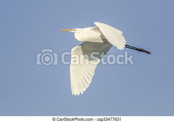 Great white egret (Casmerodius albu - csp33477631