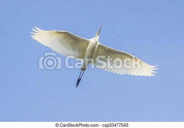 Great white egret (Casmerodius albus) - csp33477543