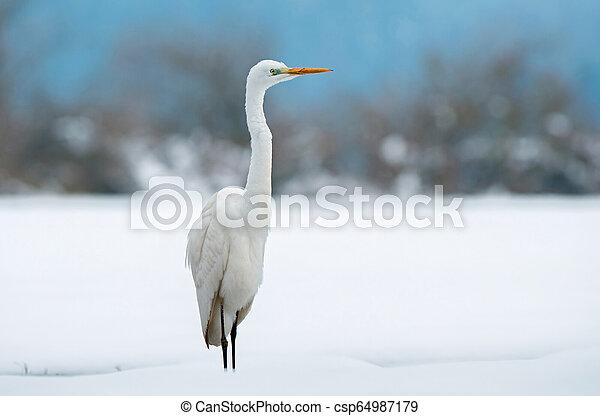 Great white egret in winter - csp64987179