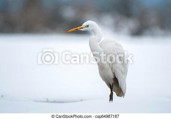 Great white egret in winter - csp64987187