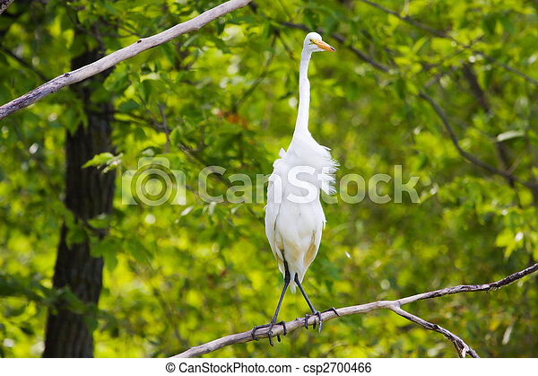 Great White Egret perched in a tree. - csp2700466