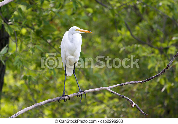 Great White Egret perched in a tree - csp2296263