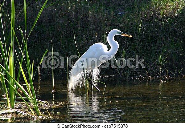 Great white egret - csp7515378