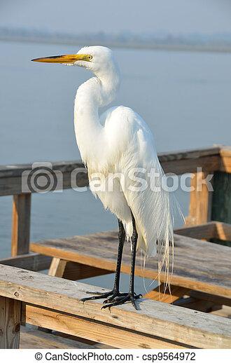 Great White Egret - csp9564972