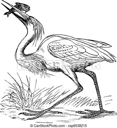 Great White Heron (Ardea occidentalis) vintage engraving - csp6538215