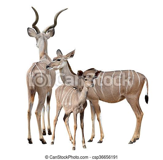 greater kudu - csp36656191