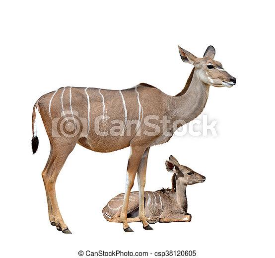 Greater kudu - csp38120605