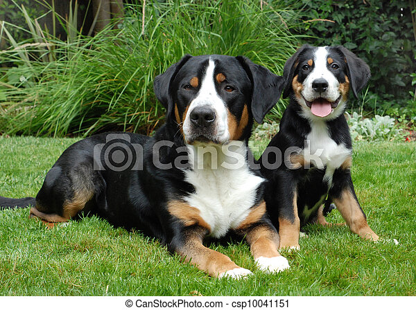 Greater Swiss Mountain Dog, adult and puppy - csp10041151