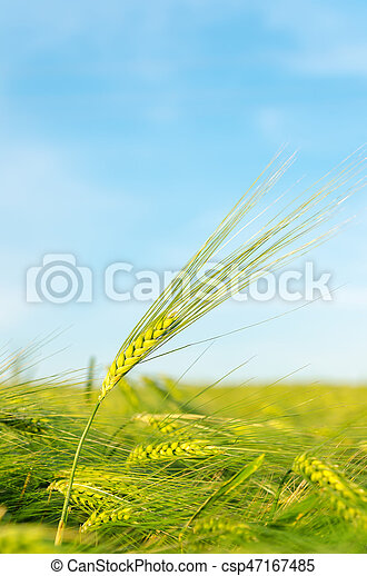 green agricultural field and blue sky - csp47167485