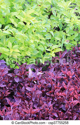 Green And Purple Leaf Tree Of Tropical Garden Green And Purple
