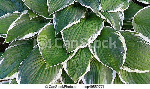 Green And White Leaves Of Hosta Beautiful Bright Green And White