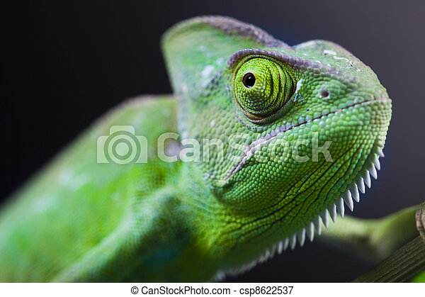 Green animal, Chameleon - csp8622537