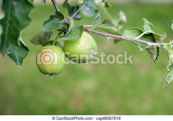 Green apples in a garden - csp48567619