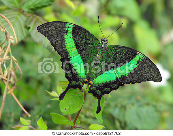 Sưu tập Bộ cánh vẩy 2 - Page 67 Green-banded-swallowtail-butterfly-stock-image_csp56121762