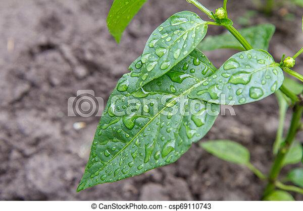 Green bell pepper bush growing in the garden. - csp69110743