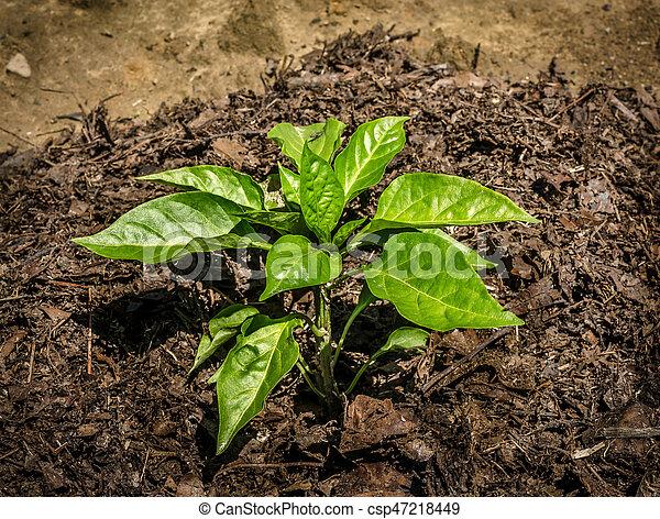 Green bell pepper growing in the garden - csp47218449