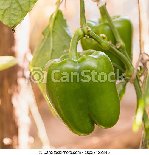 Green bell pepper growing on a plant - csp37122246