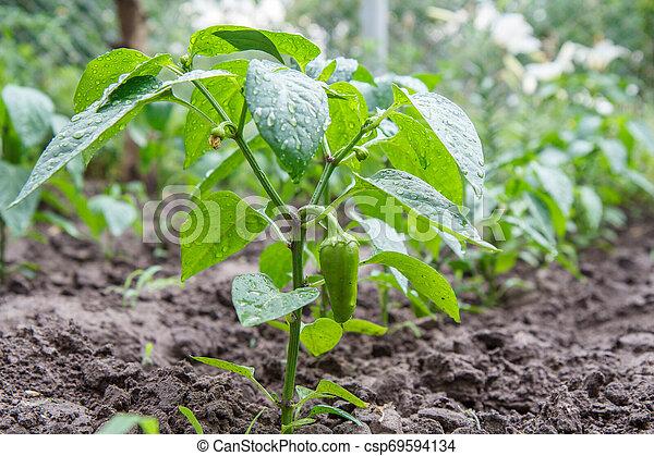 Green bell pepper growing on bush in the garden. - csp69594134