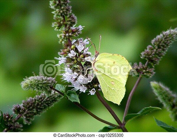 Green brimstone butterfly - csp10255300