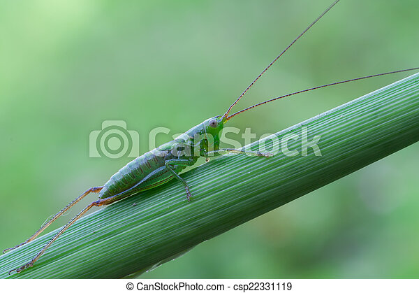 green bush cricket - csp22331119