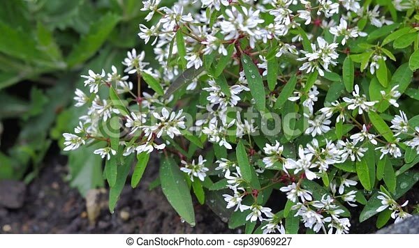 Green bush with small white flowers the movement of the camera green bush with small white flowers the movement of the camera along the top view and allows you to see a lot of detail mightylinksfo